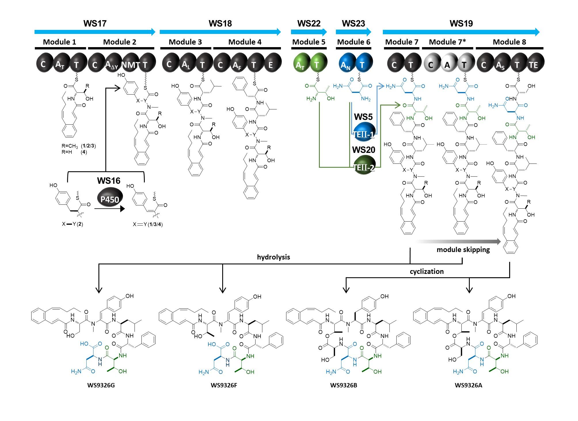 윤여준·오동찬 교수팀, 거대 모듈화 非리보좀 펩타이드 합성효소의 특이 생합성 메카니즘 최초 규명